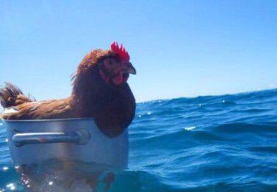El gallo del Carmen Doloroso se va de vacaciones